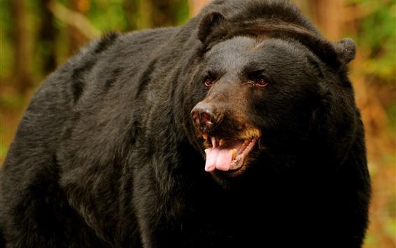 배경 화면 흑곰, 봐, 이빨