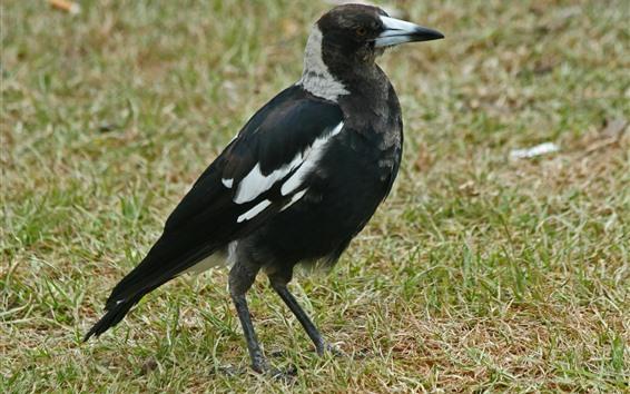 Fondos de pantalla Pájaro negro, hierba, tierra