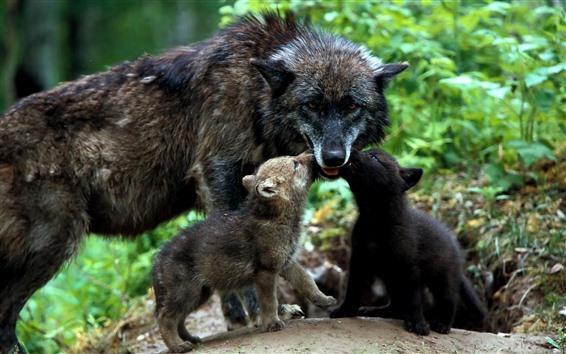 Обои Черный волк, детеныши, семья