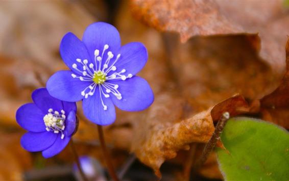 Papéis de Parede Flores roxas azuis, folhas