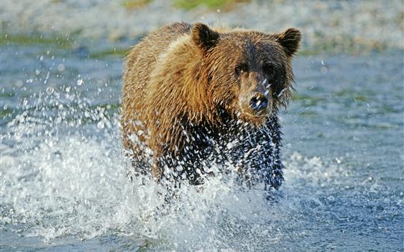 Wallpaper Brown bear walk in the water, water splash