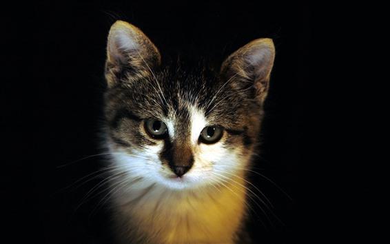 Fondos de pantalla Gato te mira, cara, fondo negro
