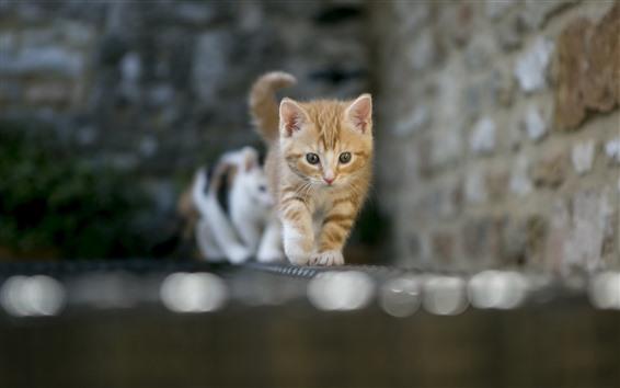 Fondos de pantalla Gatos caminando, vista frontal, ladrillos, pared