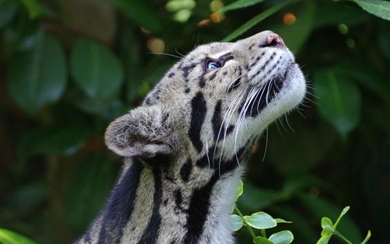 Fond d'écran Léopard nébuleux, levez les yeux