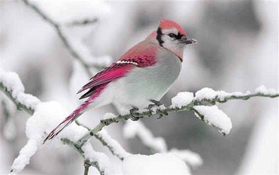 Wallpaper Cute bird, pink feather, twigs, snow, winter
