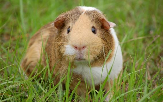 Fond d'écran Cochon d'Inde mignon, regard, herbe