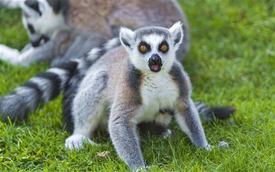 Fondos de pantalla Lindo lémur te mira, hierba verde