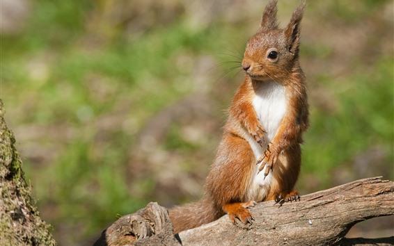Fond d'écran Écureuil mignon, bois