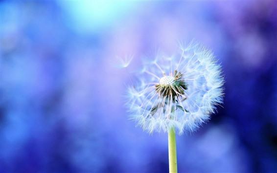 Fondos de pantalla Diente de león, flor blanca, fondo azul