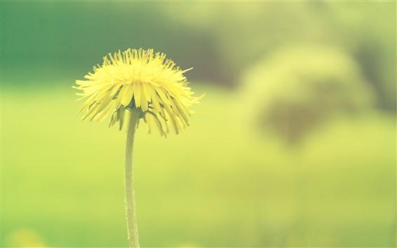 Обои Одуванчик, желтый цветок, зеленый фон