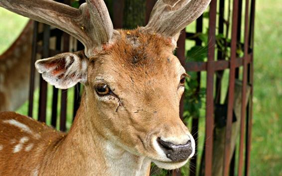 Обои Вид оленя спереди, рога, нос, глаза, уши