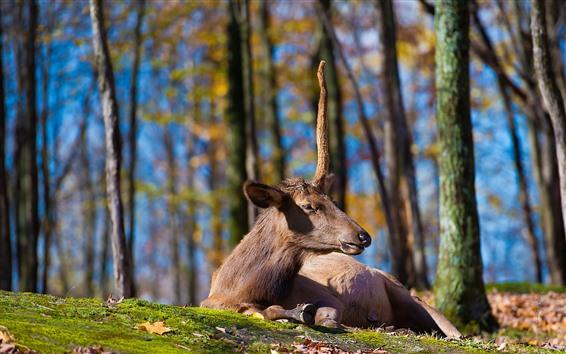 Обои Олень, отдых, рога, трава, земля, деревья