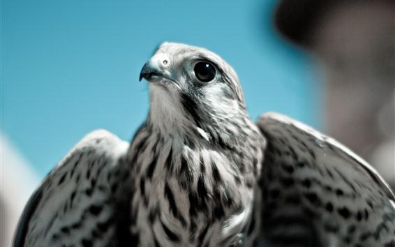 Papéis de Parede Águia, bico, olhos, asas, olhar