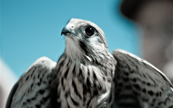 Fond d'écran Aigle, bec, yeux, ailes, regard