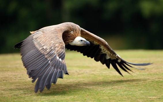 Wallpaper Eagle flying, wings, ground