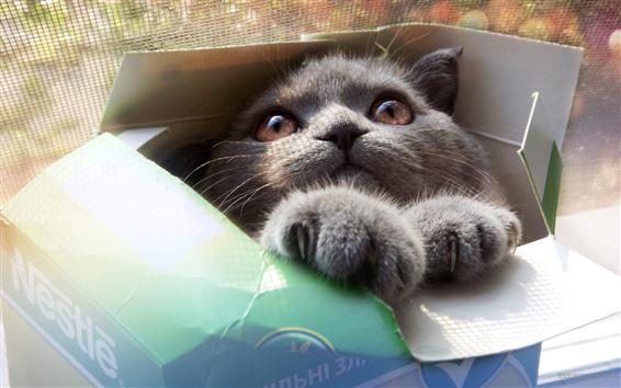 Fondos de pantalla Gato gris en caja de papel