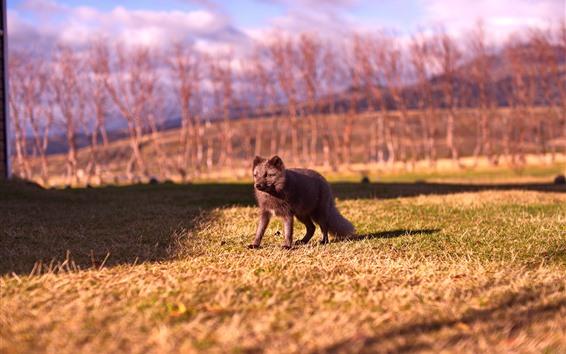 Обои Серая лисица, трава, солнце