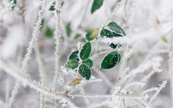 배경 화면 녹색 잎, 서리, 나뭇 가지, 겨울