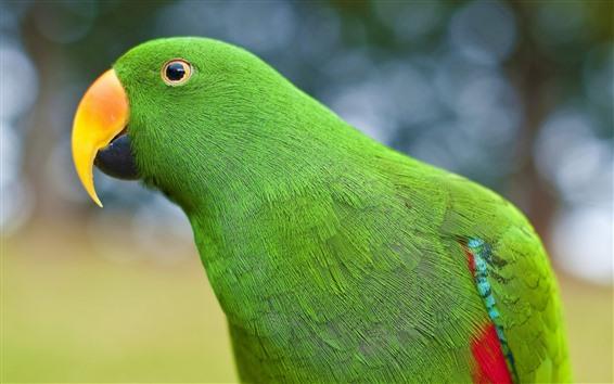 Fond d'écran Perroquet vert, bec, regardez