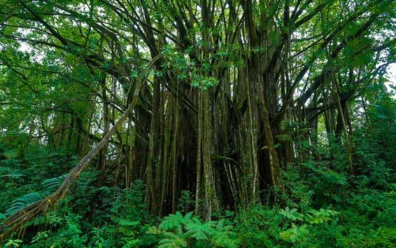 壁紙 ハワイ、木々、緑、自然