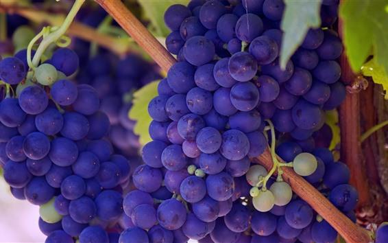 Papéis de Parede Muitas uvas roxas, colheita
