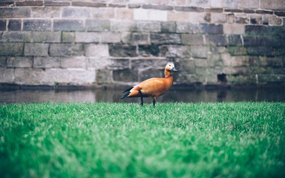Обои Одна утка, трава, вода, стена