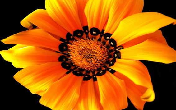 Wallpaper Orange flower macro photography, petals, black background