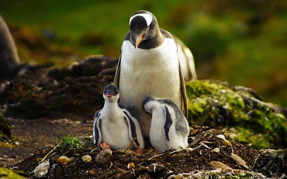 Wallpaper Penguin family, wildlife