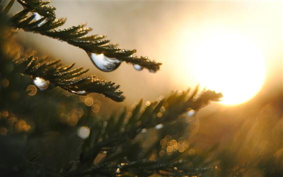 Papéis de Parede Galhos de pinheiro, orvalho, nascer do sol, neblina