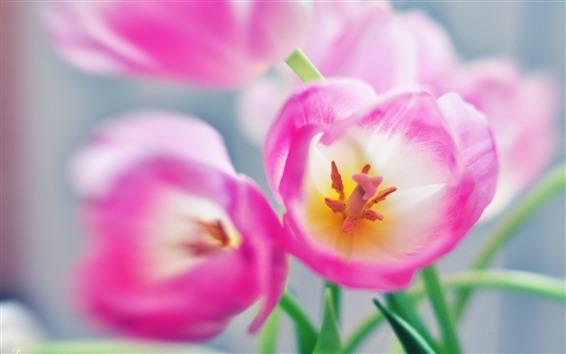 Papéis de Parede Close-up de flores em tulipa rosa, pétalas, pistilo