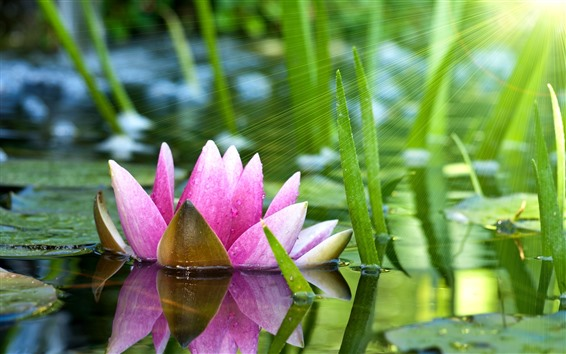 배경 화면 분홍색 수련, 연못, 녹색 잎, 태양 광선