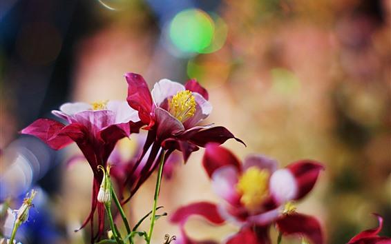 Papéis de Parede Flores vermelhas aquilégias, pétalas, nebulosas