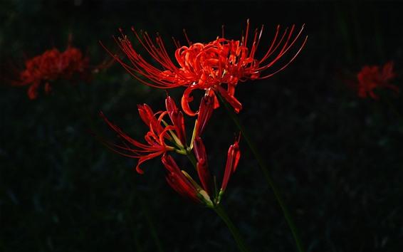 Papéis de Parede Flores vermelhas, pétalas, caule, fundo preto