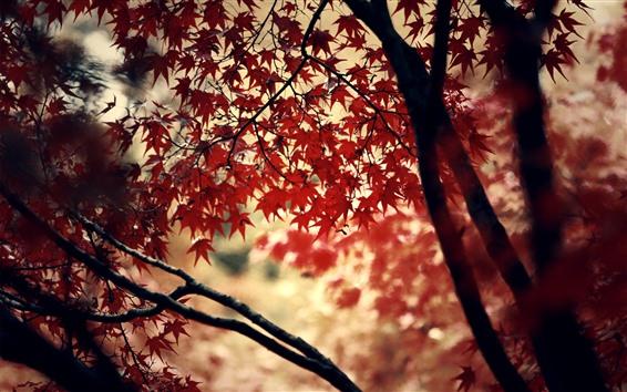 Обои Красные кленовые листья, деревья, осень, дымка