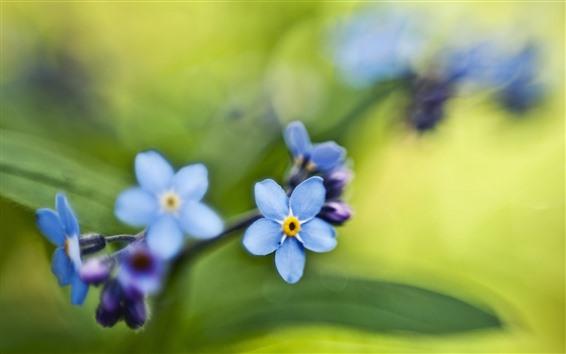 Fondos de pantalla Pequeñas flores azules, nomeolvides, fondo verde
