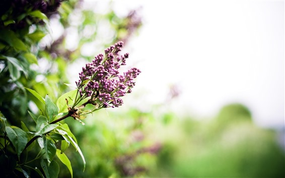 Wallpaper Small purple flowers, green leaves, hazy