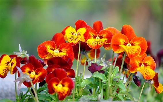 Fondos de pantalla Algunas flores de pensamiento naranja