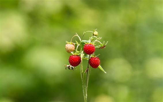 Wallpaper Strawberries, stem, green background