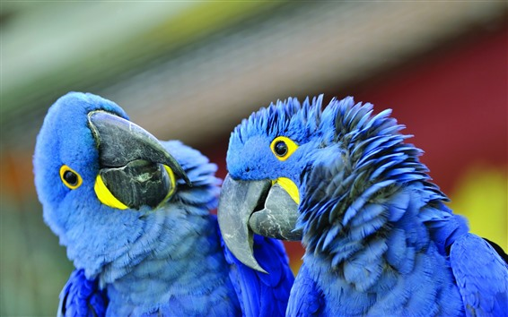 Fondos de pantalla Dos loros de plumas azules