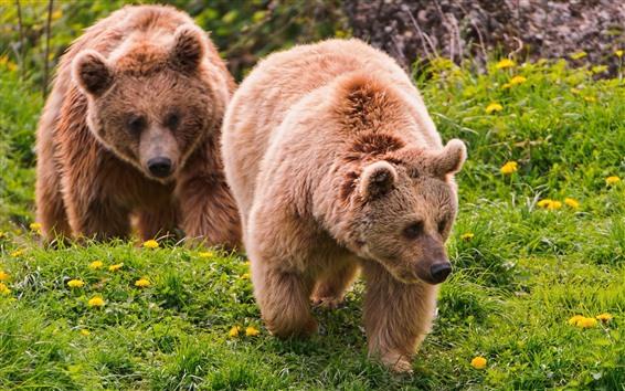 배경 화면 두 갈색 곰, 산책, 푸른 잔디, 꽃