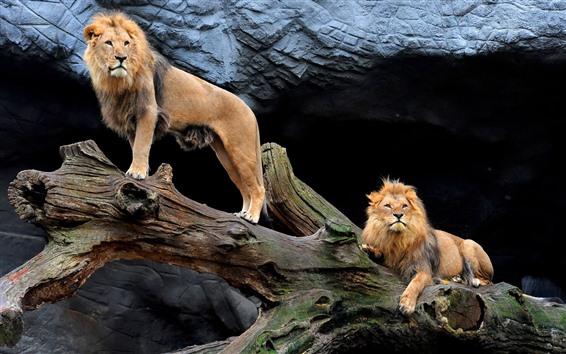 Fondos de pantalla Dos leones, madera, mira