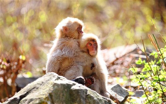 Papéis de Parede Dois macacos, pedra, luz do sol