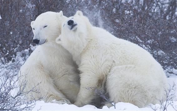 Обои Два белых медведя, игра, снег
