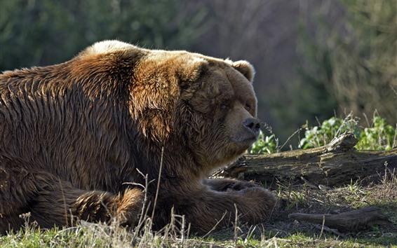 Обои Мокрый бурый медведь, лиса, дерево