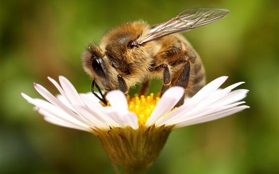 Fondos de pantalla Flor blanca, pétalos, abeja, insecto
