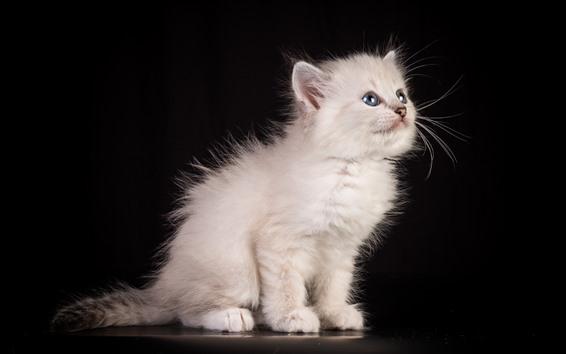 Fondos de pantalla Gato blanco esponjoso, fondo negro