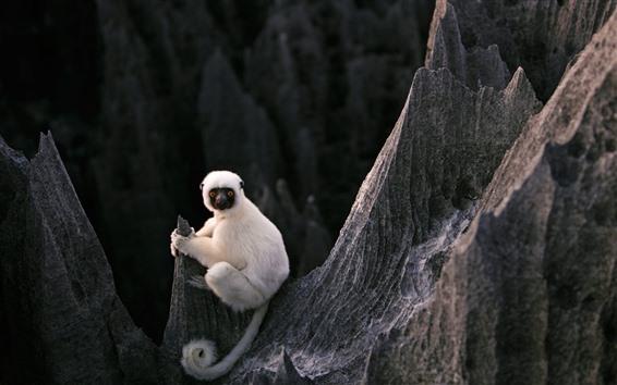 Fond d'écran Lémur blanc, roches