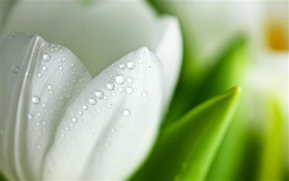 배경 화면 흰 튤립 꽃잎 매크로 사진, 물방울, 흐릿한
