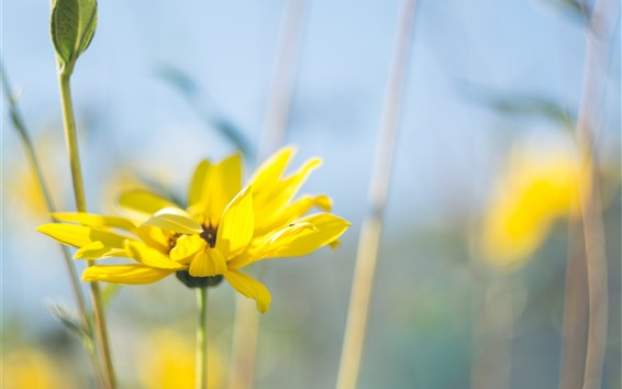 Wallpaper Yellow flower close-up, petals, hazy background