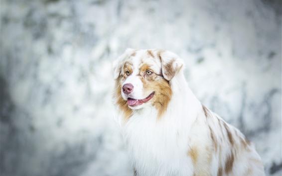 배경 화면 호주 목자, 개, 노란 눈, 흐릿한